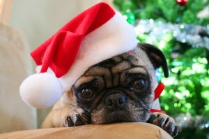 pug with santa holiday hat